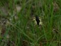 Ascalaphe (soufré)_Libelloides (coccajus)2-Langrand_Estelle