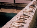 Poissons morts 1985 (1)