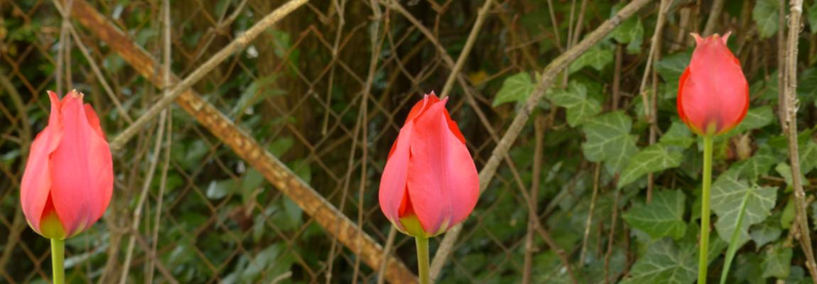 Tulipe précoce - Tulipa Radii